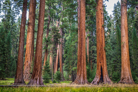 Classic view of famous giant sequoia trees, also known as giant redwoods or Sierra redwoods, on a beautiful sunny day with green meadows  in summer, Sequoia National Park, California, USA 스톡 콘텐츠 - 96566763