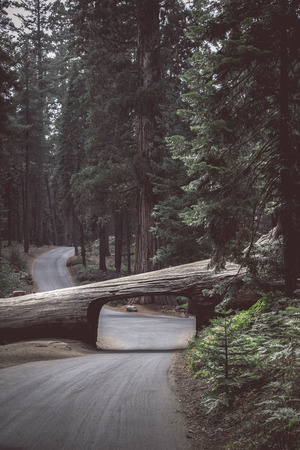 Panoramic vertical view of famous Tunnel Log with Crescent Meadow Road in Giant Forest on a beautiful moody cloudy day with retro vintage  style filter effect, Sequoia National Park, California, USA Stock Photo