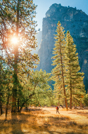 A male hiker is walking through a beautiful forest scenery among giant pine trees in  famous Yosemite Valley