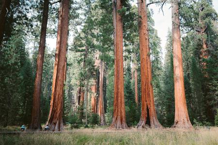 Klassischer Blick auf berühmte Riesenmammutbäume, auch bekannt als Giant Redwoods oder Sierra Redwoods, an einem schönen sonnigen Tag mit grünen Wiesen im Sommer, Sequoia National Park, Kalifornien, USA