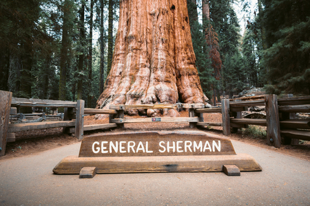 Scenic view of famous General Sherman Tree, by volume the world's largest known living single-stem tree, Sequoia National Park, California, USA Stok Fotoğraf - 121795157