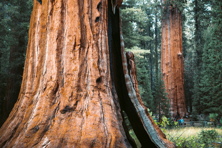 Scenic view of famous giant sequoia trees, also known as giant redwoods or Sierra redwoods, on a beautiful sunny day with green meadows  in summer, Sequoia National Park, California, USA