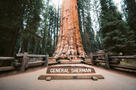Scenic view of famous General Sherman Tree, by volume the worlds largest known living single-stem tree, Sequoia National Park, California, USA 写真素材