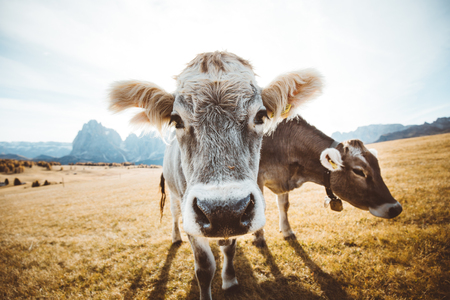 Funny wide-angle closeup view of cows on alpine meadows staring into camera, Alpe di Siusi, South Tyrol, Italy