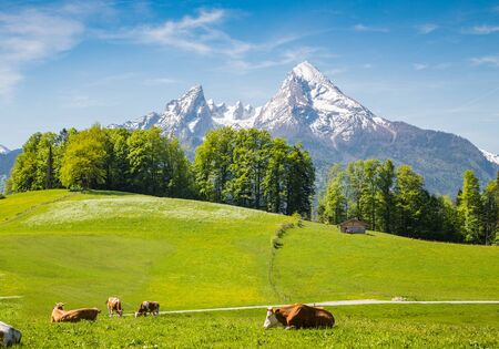 Idílico paisaje de verano en los Alpes con vacas que pastan en verdes y frescos pastos de montaña y cimas nevadas en el fondo Foto de archivo