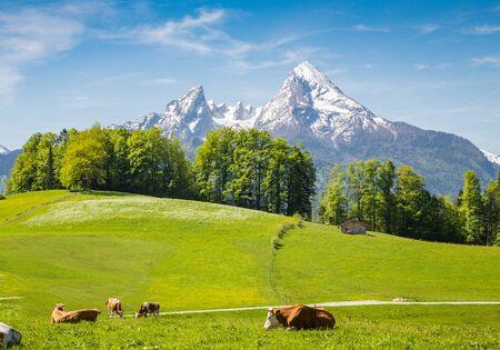 Idyllische Sommerlandschaft in den Alpen mit grasenden Kühen auf frischen grünen Almen und schneebedeckten Berggipfeln im Hintergrund Standard-Bild