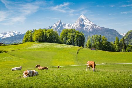 Paysage d'été idyllique dans les Alpes avec des vaches paissant sur des alpages verts frais et des sommets enneigés en arrière-plan