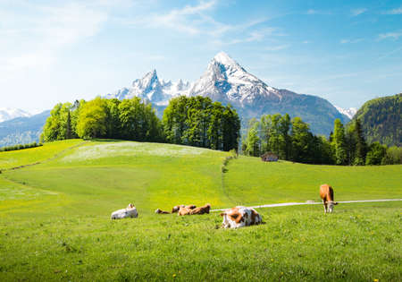 Idyllic summer landscape in the Alps with cows grazing on fresh green mountain pastures and snow capped mountain tops in the background 版權商用圖片