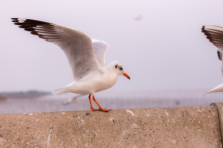 expand: Seagull expand the wings Stock Photo