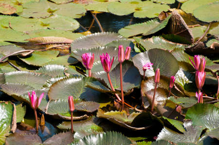 monet: Lotus leaves and lotus in the pond is large