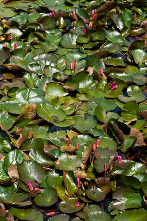Lotus leaves and lotus in the pond is large Stock Photo - 13449569