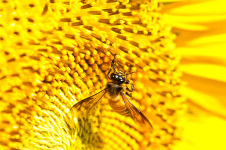 Close-up bee on yellow sunflower photo