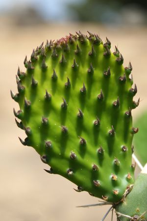 opuntia: Opuntia, Opuncia, Nopal