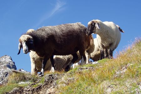 Sheep on a pasture photo