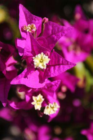 small purple flower: Bouganvillea. Small purple flower bloom