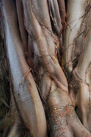 interlocked: Ancient tree trunk surface Stock Photo