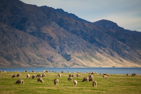 merino sheep: Sheep herd in New Zealand mountains Stock Photo
