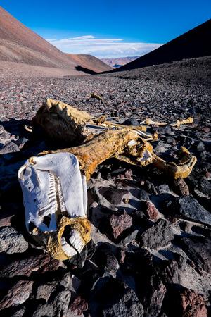 perilous: Dead horse in Atacama Desert, Argentina Stock Photo