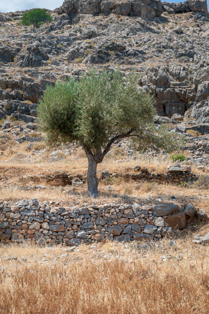 Olive tree. Olive tree wild grove on Island of Rhodes, Greece.