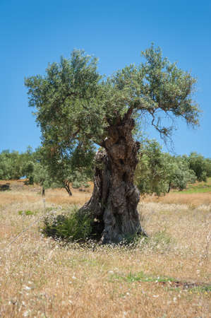 Olive tree, approx. 1000 years old or even more. Olive tree plantation in Andalucia, Spain. The value of the land is calculated accordingly to how many old olive trees are on plantation. 写真素材