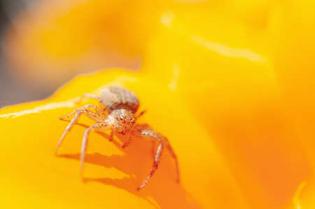 Anyphaena accentuata - buzzing spider crawling inside on yellow petals of California poppy known as a Californian sunlight. Eschscholzia californica.