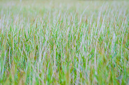 Horizontal composition of pasture grass creating a nice background. Standard-Bild - 161765352