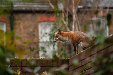 Red fox (Vulpes vulpes) wandering on top of brick wall spiked with broken glass during his early morning visit in residential gardens in north London, UK. 写真素材