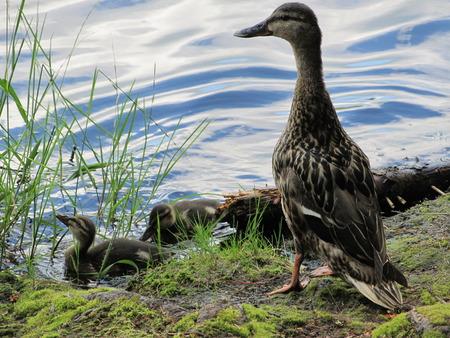 baby ducks: Baby Ducks Stock Photo