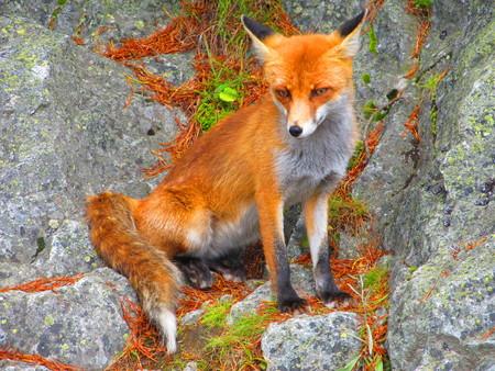 tatra: Fox in Tatra Mountains Stock Photo