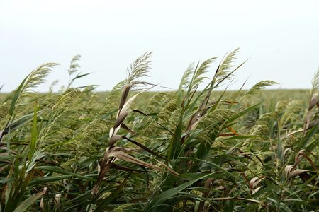 wildlife preserve: Sea Oats on the coast of China within the Chongming Island Wildlife preserve