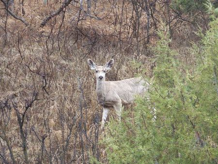 faun: Mule deer faun in the woods with blue eyes Stock Photo