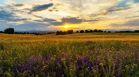 Sunset over corn gold fields with trees, mountains and sunbeam and flowers on the front