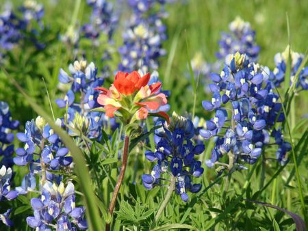 A single Indian Paintbrush among Bluebonnets in an open field in central Texas