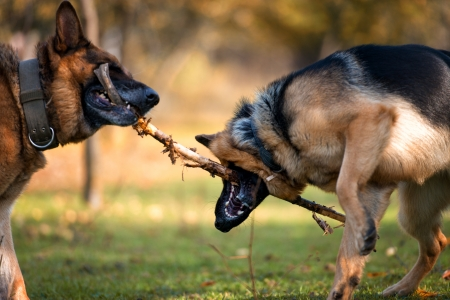 brother sister fight: Two Dogs One Stick Stock Photo