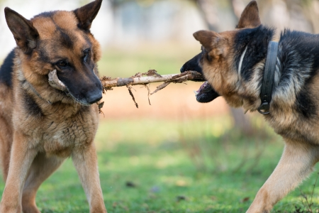 animal fight: Two Dogs One Stick Stock Photo