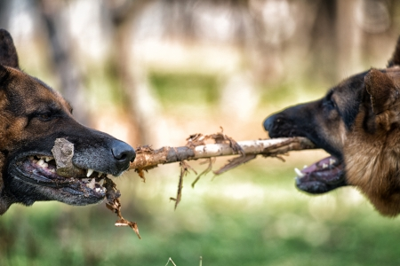 Two Dogs Fighting Over Stick photo