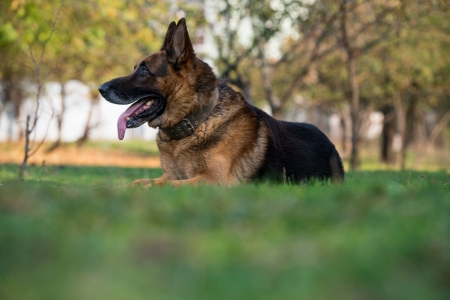 shephard: German Shephard Dog Laying Stock Photo