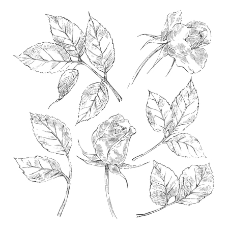 Hand drawn sketch roses element collection