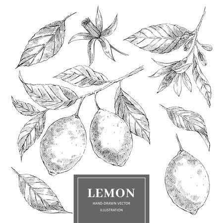 Lemon hand drawn vector illustrations set. Sketch citrus fruits cliparts collection. Isolated ink brush outline drawing. Monochrome realistic leaves, flowers. Engraving style botanical design elements Illustration