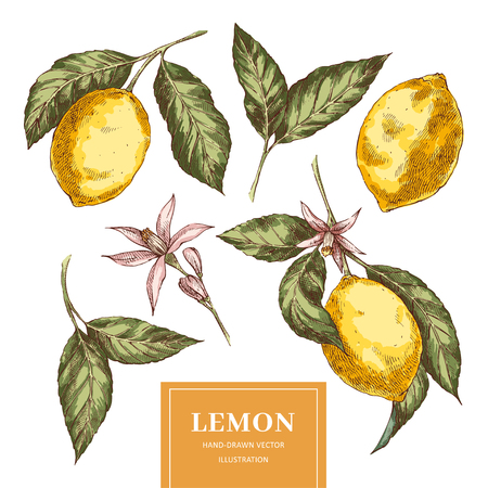 Lemons handdrawn colorfull vector illustrations. Sketch yellow citrus fruits cliparts set. Isolated ink brush doodle drawing. Realistic leaves, flowers. Engraving style color botanical design elements