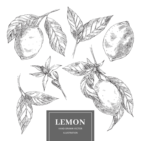 Lemon hand drawn vector illustrations set. Sketch citrus fruits cliparts pack. Isolated ink brush outline drawing. Monochrome realistic leaves, flowers. Engraving style botanical design elements