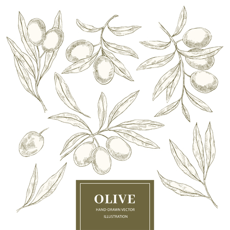 Hand drawn sketch set of olive branches. Vector engraving food illustration. Organic hand drawn elements