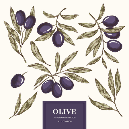 Hand drawn set of olive branches. Vector engraving food illustration. Organic hand drawn elements Ilustracja