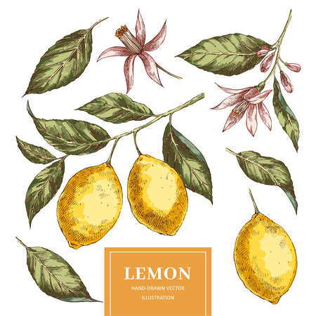 Lemons hand drawn vector illustrations pack. Sketch yellow citrus fruits cliparts set. Isolated ink brush doodle drawing. Realistic leaves, flowers. Engraving style color botanical design elements