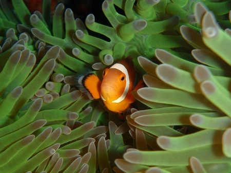 ocellaris: Ocellaris clownfish in anemona Stock Photo