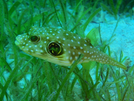 arothron: small white-spotted puffer between seagras Stock Photo