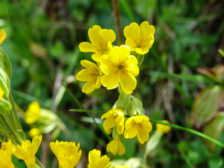 herbaceous  plant: Primula: herbaceous plant with yellow flowers.