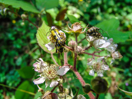 arthropod: Double Mating beetles on wilted flowers.