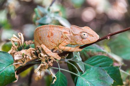 saurian: Chameleon Oustalet (Furcifer oustaleti) in Ankarana National Park, Madagascar Stock Photo