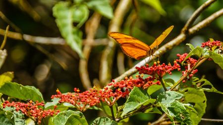lepidopteran: Julia Butterfly (Dryas Julia), Arenal Volcano National Park, Costa Rica.